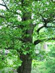 женское дерево
