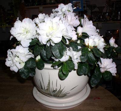 Комнатные растения обереги Азалия