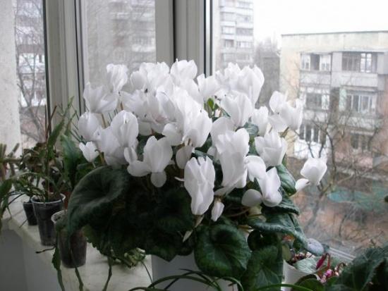 Комнатные растения обереги Цикламен