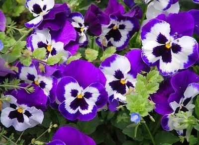 Комнатные растения обереги Фиалка
