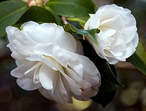 Комнатные растения обереги Камелия
