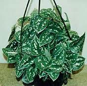 Комнатные растения обереги Сциндапсус
