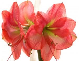 Цветы - символы Любви amarillis
