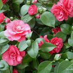 Цветы - символы Любви - камелия