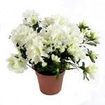 Цветы для здоровья и настроения